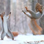 squirrels playing with a pine cone in snow